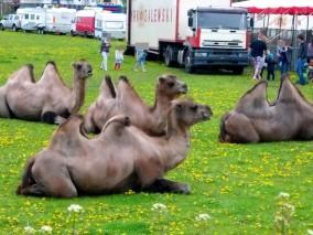 Wielbłądy nad Wisłą