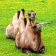 Nawet wielbłądy kochają nasz Bulwar nad Wisłą